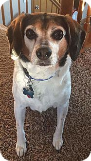 Beagle Mix Dog for adoption in Lisbon, Iowa - Poof