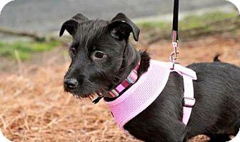 Terrier (Unknown Type, Medium)/Dachshund Mix Puppy for adoption in Alpharetta, Georgia - Fleurette