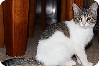 American Shorthair Kitten for adoption in Hagerstown, Maryland - Maude