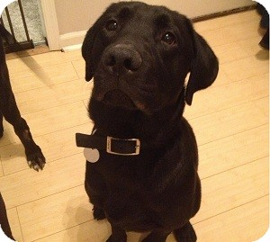 Labrador Retriever Mix Dog for adoption in North Wales, Pennsylvania - Fischer