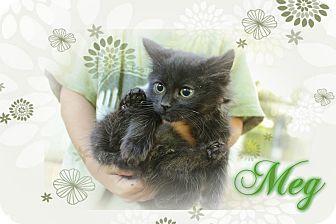 Domestic Mediumhair Kitten for adoption in Washington, D.C. - Meg