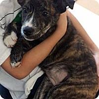 Adopt A Pet :: Sochi - Marietta, GA