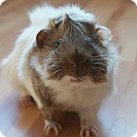 Adopt A Pet :: George - Brooklyn Park, MN