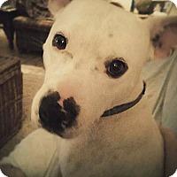 Adopt A Pet :: Knox - Bedminster, NJ