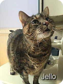Calico Cat for adoption in East Stroudsburg, Pennsylvania - Jello
