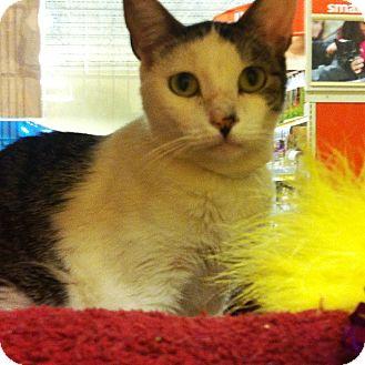 Domestic Shorthair Cat for adoption in Riverside, California - Spirit