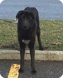 Labrador Retriever/Newfoundland Mix Dog for adoption in BC Wide, British Columbia - Simon