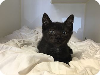 Domestic Shorthair Kitten for adoption in Mission Viejo, California - Bagherra