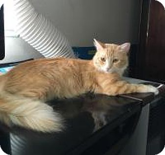 Maine Coon Cat for adoption in Mission Viejo, California - Sophie