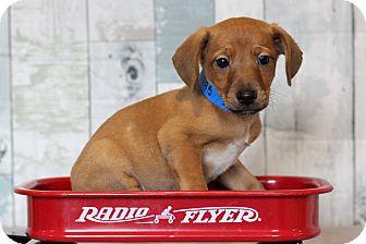 Terrier (Unknown Type, Medium) Mix Puppy for adoption in Waldorf, Maryland - Mario