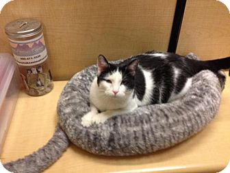 Domestic Shorthair Cat for adoption in Scottsdale, Arizona - Sweet Boy