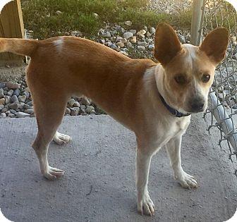 Corgi/Basenji Mix Dog for adoption in Indianapolis, Indiana - Murray