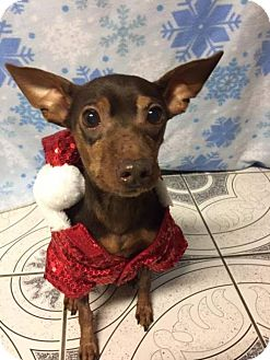 Miniature Pinscher Mix Dog for adoption in Los Banos, California - Rogue