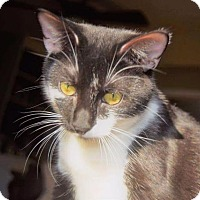 Domestic Shorthair Cat for adoption in Valley Park, Missouri - Trixie