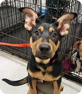 German Shepherd Dog/Rottweiler Mix Puppy for adoption in Detroit, Michigan - Sugar Plum Mary-Adopted!