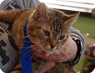 Domestic Shorthair Cat for adoption in Washington, D.C. - Harriet