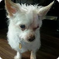 Adopt A Pet :: Oliver - Renton, WA