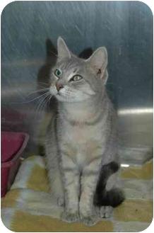 Domestic Shorthair Cat for adoption in Warwick, Rhode Island - Ashley: Gray Tiger Beauty