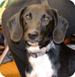 Dachshund/Hound (Unknown Type) Mix Dog for adoption in North Olmsted, Ohio - Lincoln