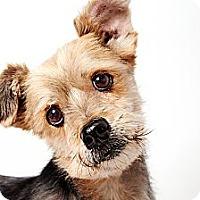 Adopt A Pet :: Teddy - New York, NY