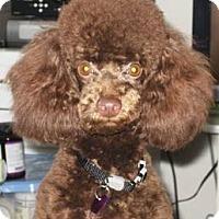 Adopt A Pet :: Nico - Dover, MA