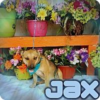 Adopt A Pet :: Jax - Odessa, TX