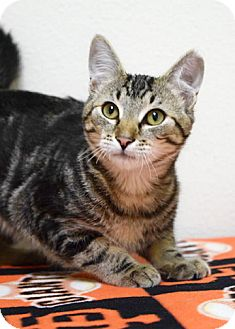 Domestic Shorthair Kitten for adoption in Dublin, California - Buster