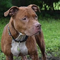 American Pit Bull Terrier Mix Dog for adoption in Kansas City, Missouri - Nugs