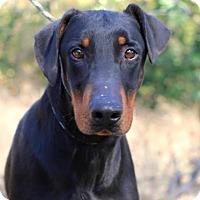 Adopt A Pet :: Jesse - Fillmore, CA