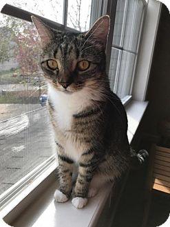 Domestic Mediumhair Cat for adoption in Columbus, Indiana - Skylar