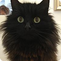 Domestic Longhair Cat for adoption in Winterville, North Carolina - BARBARA BUSHYTAIL