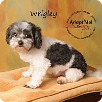 Maltese/Shih Tzu Mix Dog for adoption in Topeka, Kansas - Wrigley