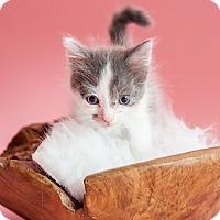 Domestic Mediumhair Kitten for adoption in Miami Shores, Florida - Marilyn