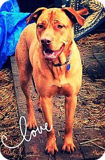 Rhodesian Ridgeback/Retriever (Unknown Type) Mix Dog for adoption in Billerica, Massachusetts - Jax