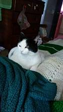 Adopt a Pet :: Flossie - Pittsburgh, PA -  Domestic Shorthair