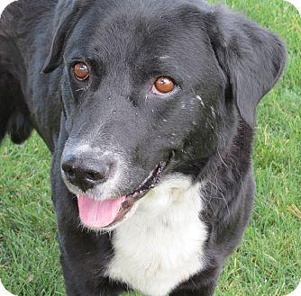 Labrador Retriever/Border Collie Mix Dog for adoption in Scottsdale, Arizona - Lonnie ALL AROUND GOOD BOY
