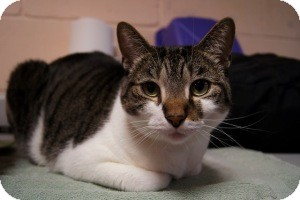Domestic Shorthair Cat for adoption in New Milford, Connecticut - Honey Dew