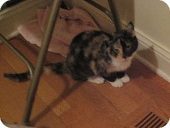 Calico Cat for adoption in Rochester, Minnesota - Gypsy