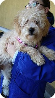 Poodle (Miniature) Mix Puppy for adoption in Las Vegas, Nevada - Lalo