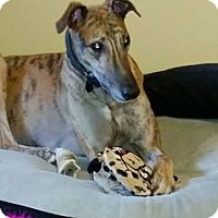 Adopt A Pet :: Flying Big Shot - Knoxville, TN