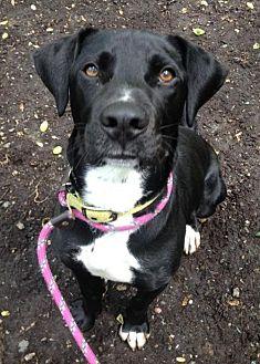 Labrador Retriever/Great Dane Mix Dog for adoption in Rockaway, New Jersey - Trigger