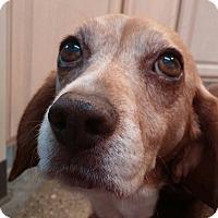 Adopt A Pet :: Paisley-a little princess! - Hadley, MI