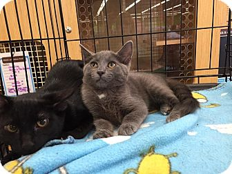 Domestic Shorthair Cat for adoption in Highland, Indiana - Anastasia