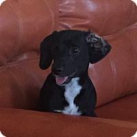 Adopt A Pet :: DAVEY - Higley, AZ
