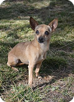 Chihuahua Mix Dog for adoption in Mountain Center, California - Salsa