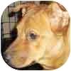 German Shepherd Dog/Collie Mix Dog for adoption in Mesa, Arizona - Sedona