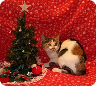 Calico Kitten for adoption in Stafford, Virginia - Lucy