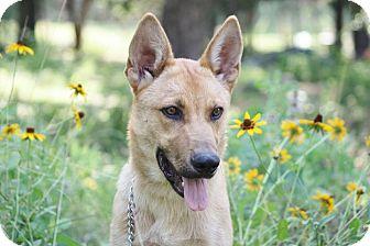 Shepherd (Unknown Type) Mix Puppy for adoption in Flower Mound, Texas - Titus