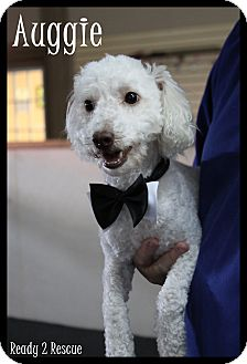 Bichon Frise Mix Dog for adoption in Rockwall, Texas - Auggie