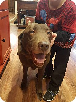 Labrador Retriever Dog for adoption in Minot, North Dakota - Miss Cocoa